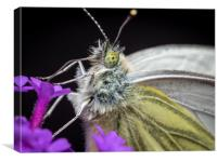 The Eye of the Green-Veined Butterfly, Canvas Print