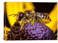 A  Honey Bee collecting  Pollen., Canvas Print