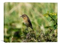 Stonechat - Female, Canvas Print
