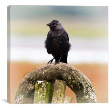 Jackdaw on the Shore., Canvas Print