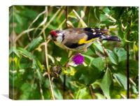 Goldfinch Feeding on Seeds., Canvas Print