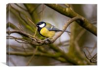 Great Tit (Parus major) in a  Winter Garden., Canvas Print