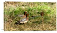 Wigeon on Laugharne Estuary. , Canvas Print