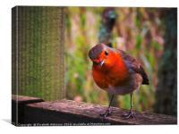 Curious Robin            , Canvas Print