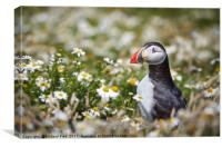 Puffin surrounded by daisies, Canvas Print