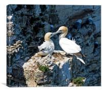 Gannet on Perch Rock Pillar, Canvas Print