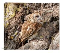 Tawny Owl on Old Oak Tree, Canvas Print