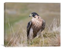 Peregrine on Grassy Moorland, Canvas Print