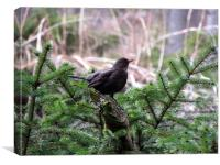 Glenlivet forest Blackbird                    , Canvas Print
