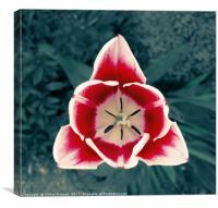 Vampire Tulip, Canvas Print
