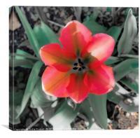 Rainbow Tulip, Canvas Print