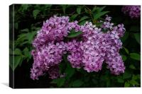 Lovely Lilac, Canvas Print