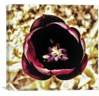 Purple Tulip, Canvas Print