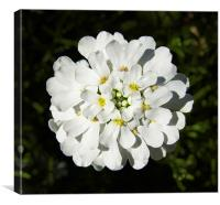 Candytuft Close Up, Canvas Print