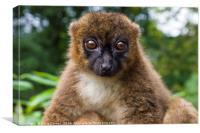 Brown Lemur, Canvas Print