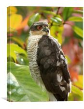 Sparrowhawk..........Small Sizes only, Canvas Print