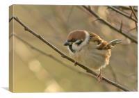 Tree Sparrow ............ small sizes, Canvas Print