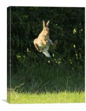 Brown Hare , High Jump    small sizes , Canvas Print