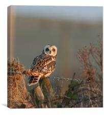 short-eared Owl in last sun...order small sizes, Canvas Print