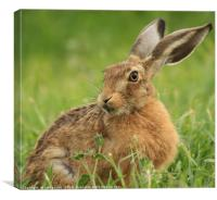 Brown Hare relaxing, Canvas Print