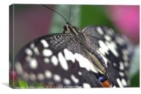 Common Lime Butterfly, Canvas Print