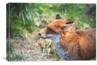 European Red Fox, Canvas Print