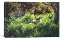 Resting Red Fox, Canvas Print