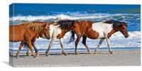 Wild Ponies at Assateague Island, Canvas Print
