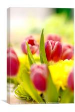 Red and Yellow Tulips, Close-Up, Canvas Print
