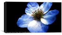 Blue Flower, Close-up, Canvas Print