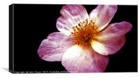 Pink Flower, Close-up, Canvas Print