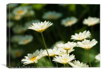 Daisy reaching for the sky, Canvas Print