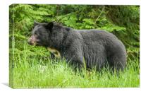 Wild American Black Bear, Canvas Print