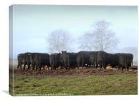 """Al Fresco Dining"" Black Aberdeen Angus Cattle , Canvas Print"