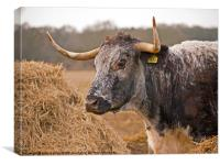 Long Horn Young Bull Norfolk, Canvas Print