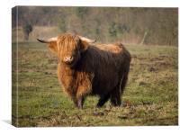 Highlander - Highland Cattle Breed Bull, Canvas Print