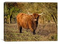 Highland Cattle , Canvas Print