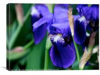 Iris , Canvas Print