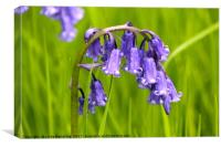 English bluebell, Canvas Print