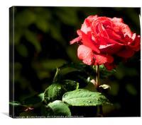 Rain Drops on Roses, Canvas Print