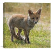 Fox Cub, Canvas Print
