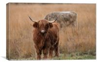 Highland Cattle Grazing, Canvas Print