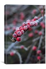 Red berries with frost, Canvas Print