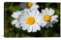 Common Daisy, Canvas Print