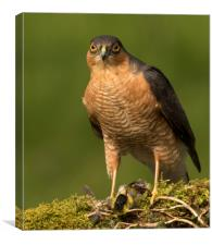 Sparrowhawk eye to eye, Canvas Print