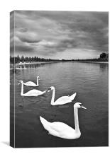 Swans, Canvas Print