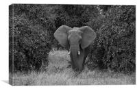 African elephant, Canvas Print