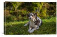 Welsh Sheepdog puppy 1, Canvas Print