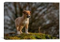 Welsh Sheepdog puppy 2, Canvas Print