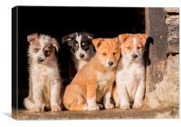 Beardie Collie Cross puppies watching the farmyard, Canvas Print